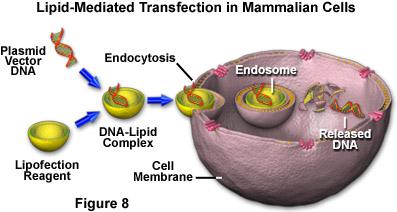 哺乳动物细胞系中最常用的筛选抗生素是蛋白合成抑制