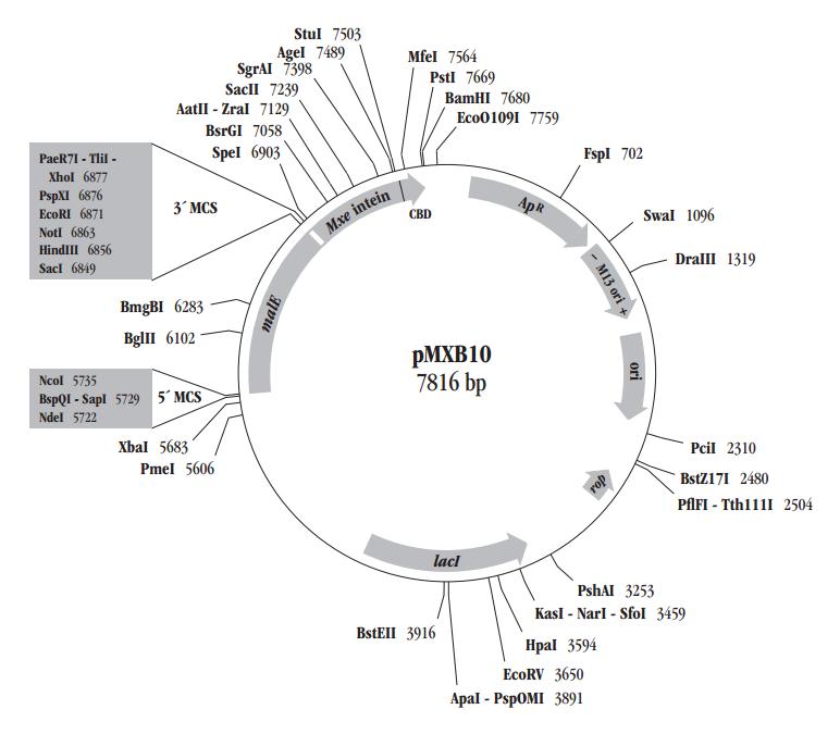 大肠杆菌及质粒载体结构模式图