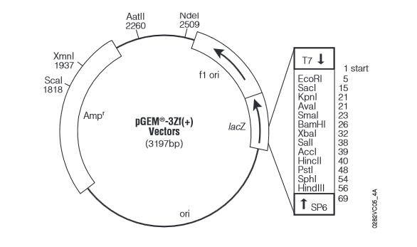 pegm-3zf(+)载体_质粒图谱