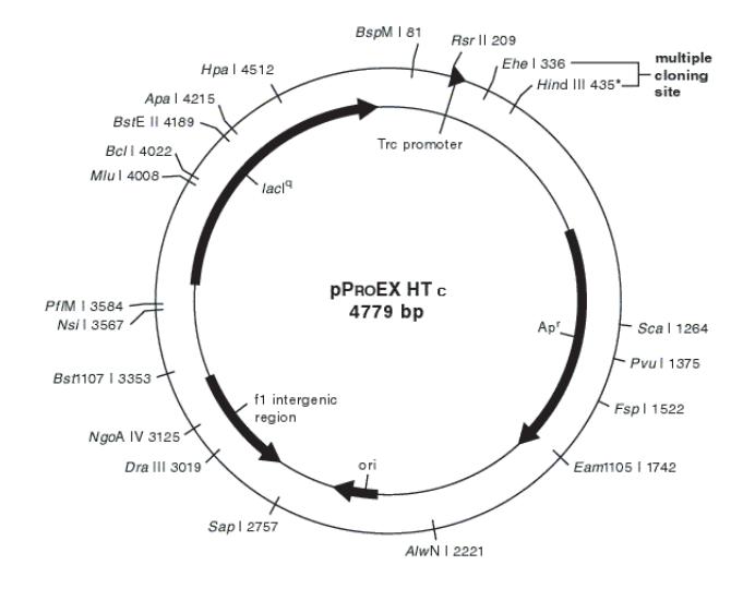 pProEX HT系列原核表达系统是用来在大肠杆菌中表达外源蛋白的载体。使用该载体表达的目的蛋白含有6个His纯化标签。目的基因可以克隆到载体的多克隆位点处,可以选择的载体有pProEX HTa, b, c.蛋白表达后,His纯化标签就位于目的蛋白的N端,同时His纯化标签的使用可以用于蛋白纯化。载体上同时含有rTEV蛋白酶识别位点,可以使用rTEV蛋白酶进行酶切,从而去除融合的His标签。