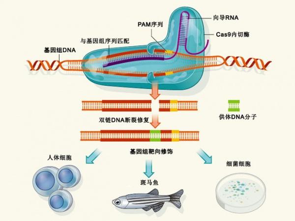 DNA发夹结构