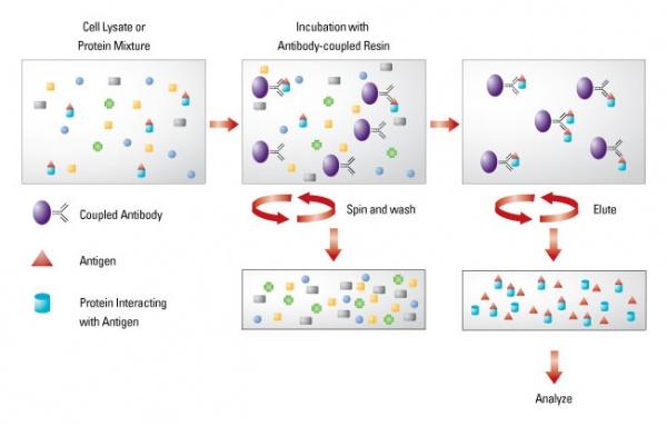 1. 用预冷的PBS洗涤细胞两次; Carefully wash cultured cells with pre-chilled PBS for 2 times. 2. 加入预冷的RIPA裂解缓冲液(107细胞加入1ml); Add in cold RIPA lysis buffer (1ml for 107cells). 3. 用预冷的细胞刮将细胞从培养介质上刮离,并转移到干净的1.5EP管中。并置于低速摇床,4缓慢晃动15min; Scrap cells off to clean 1.