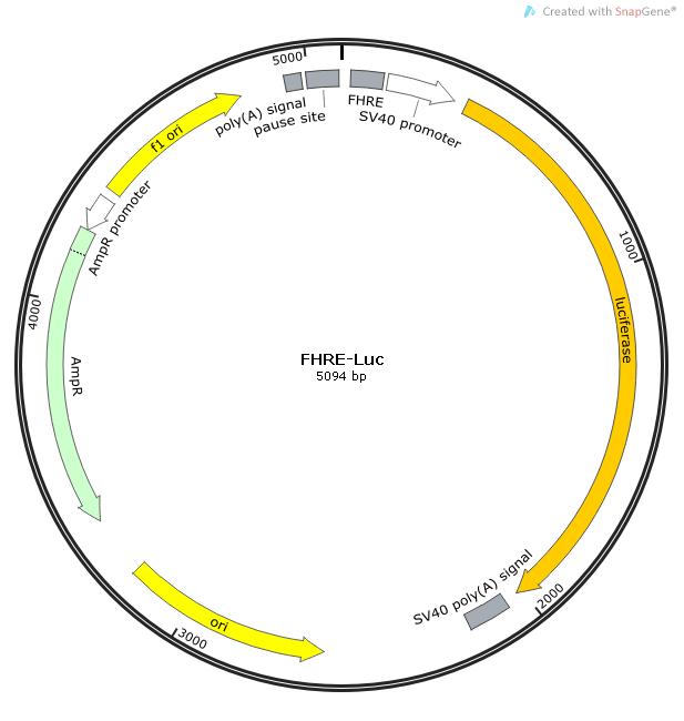 FHRE-Luc质粒图谱