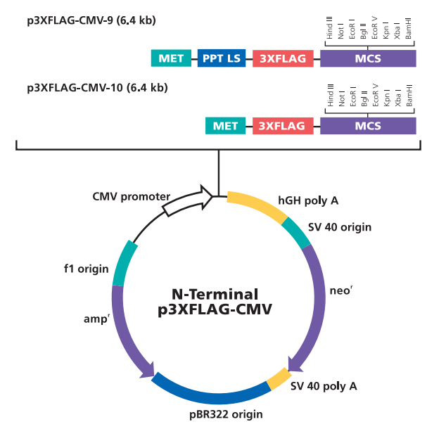 p3xFLAG-CMV-10 质粒图谱