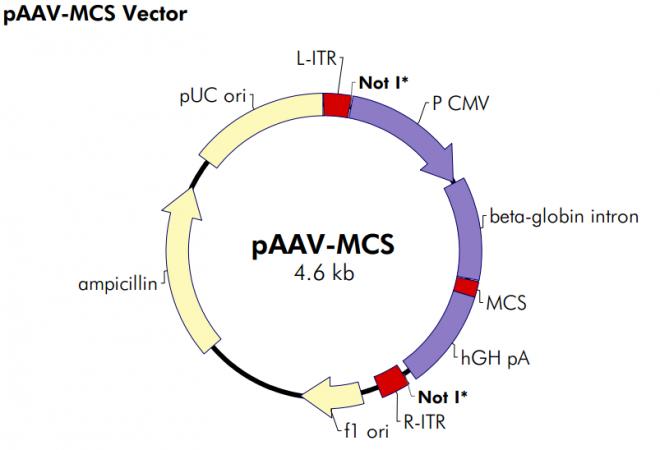pAAV-MCS 质粒图谱