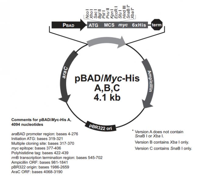 pBAD/His A,B,C 质粒图谱