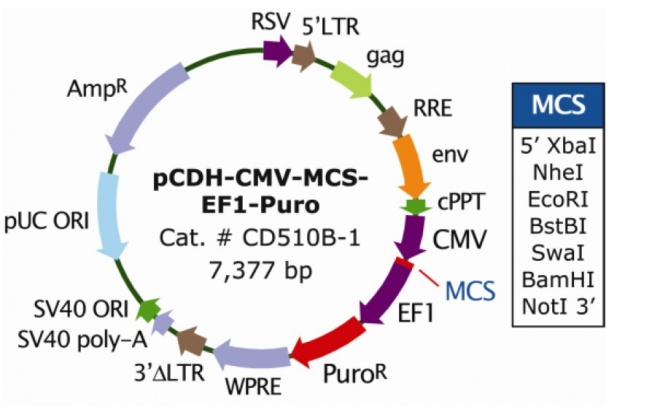 pCDH-CMV-MCS-EF1-Puro 质粒图谱
