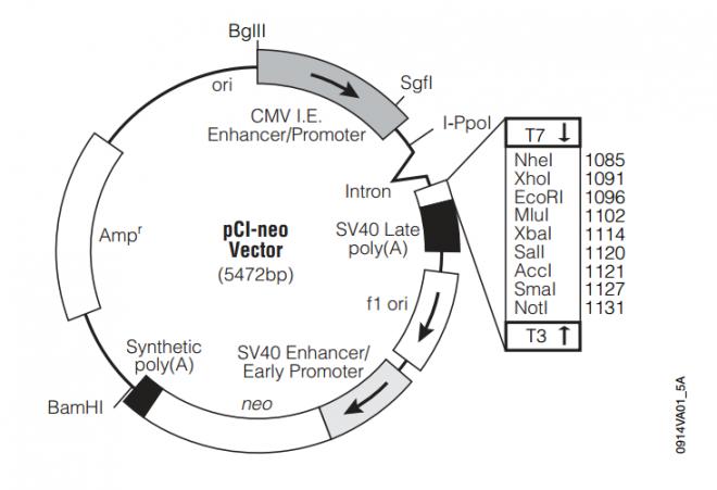 pCI-neo 质粒图谱