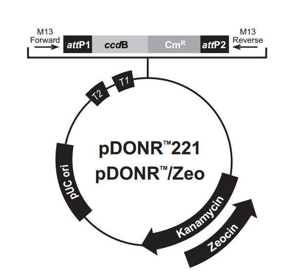 pDONR/Zeo 质粒图谱