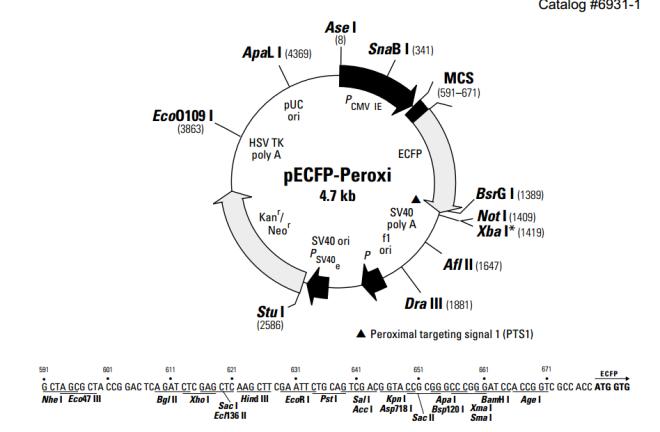 pECFP-Peroxi 质粒图谱