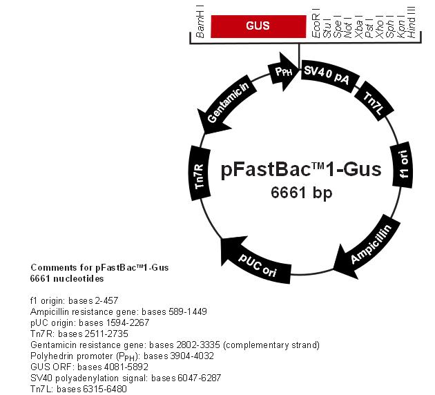 pFastBac1-Gus 质粒图谱