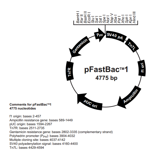 pFastBac1 质粒图谱