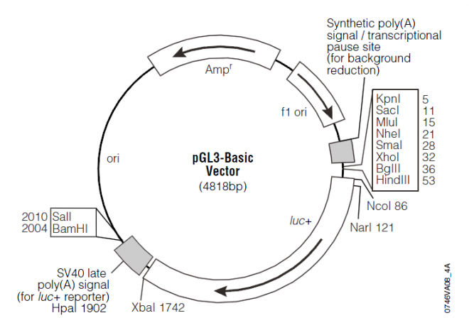 pGL3-Basic 质粒图谱