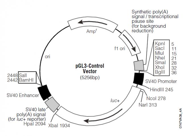 pGL3-Control 质粒图谱