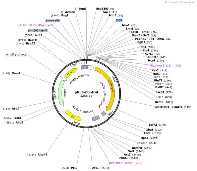 pGL3-Control 载体图谱