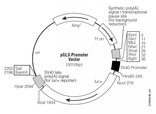 pGL3-Promoter 载体图谱
