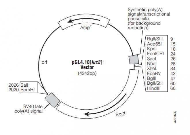 pGL4.10[luc2] 质粒图谱