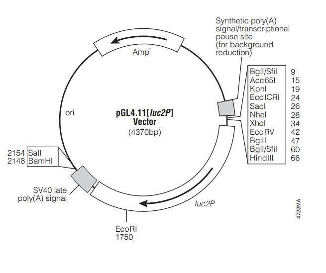 pGL4.11[luc2P] 载体图谱