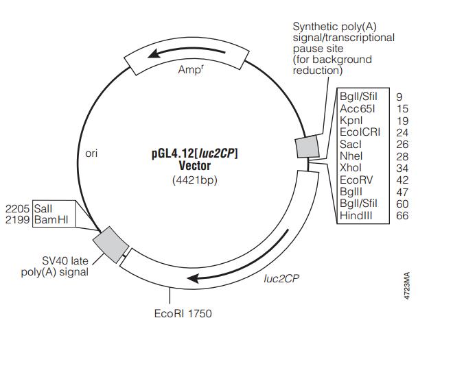 pGL4.12[luc2CP] 质粒图谱