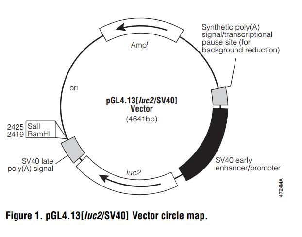 pGL4.13[luc2/SV40] 载体图谱