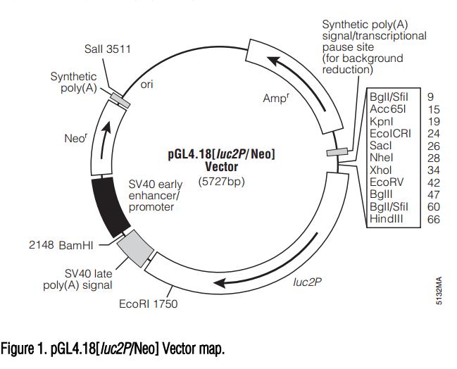 pGL4.18[luc2P/Neo] 质粒图谱