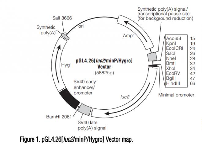 pGL4.26[luc2/minP/Hygro] 质粒图谱