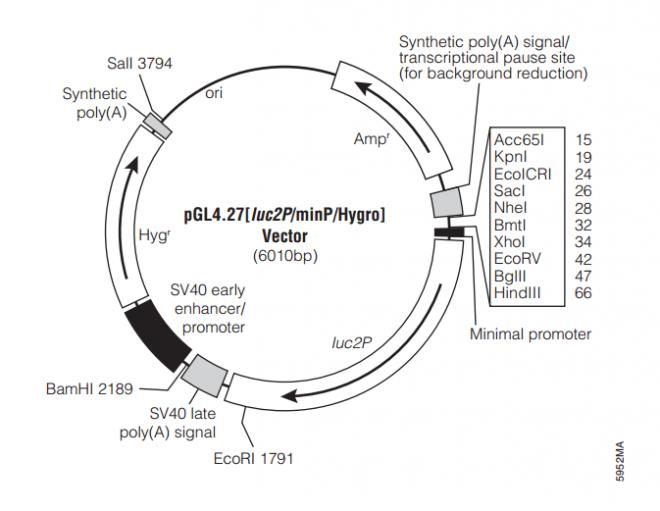 pGL4.27[luc2P/minP/Hygro] 质粒图谱