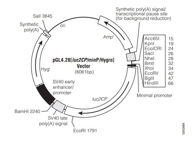 pGL4.28[luc2CP/minP/Hygro] 质粒图谱