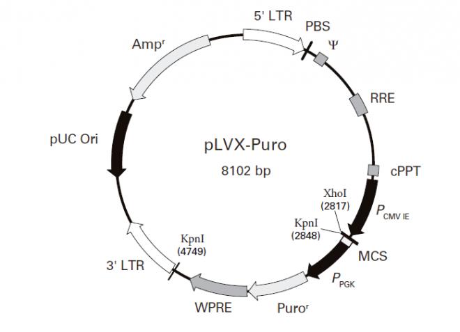 pLVX-Puro 载体图谱