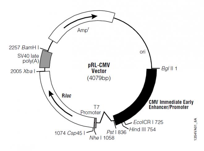 pRL-CMV 质粒图谱