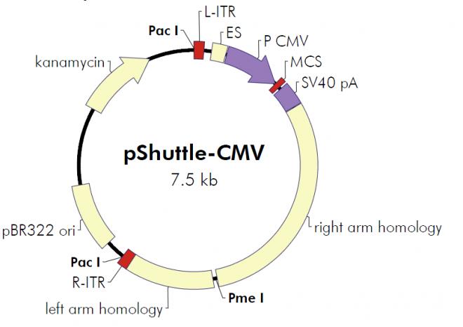 pShuttle-CMV 质粒图谱