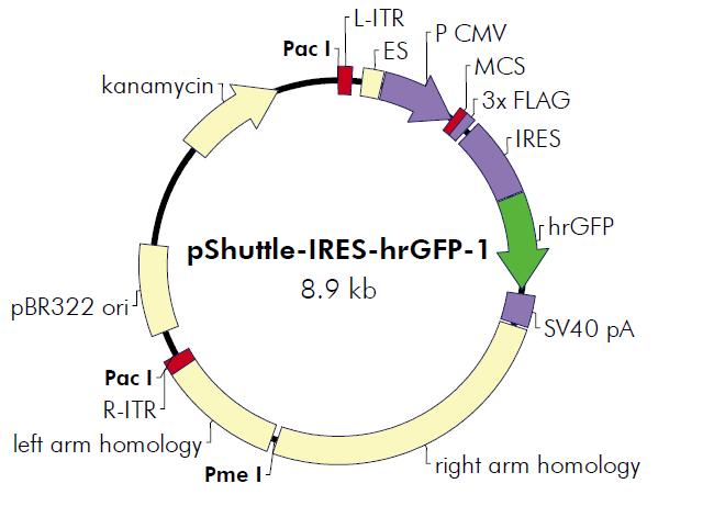 pShuttle-IRES-hrGFP-1 质粒图谱