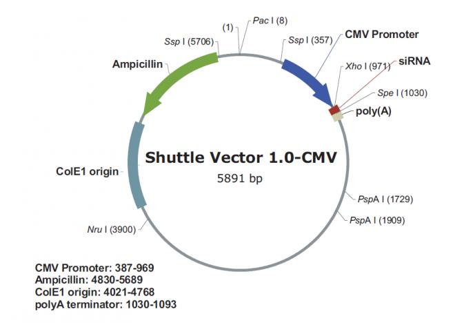 pSilencer adeno 1.0-CMV 质粒图谱