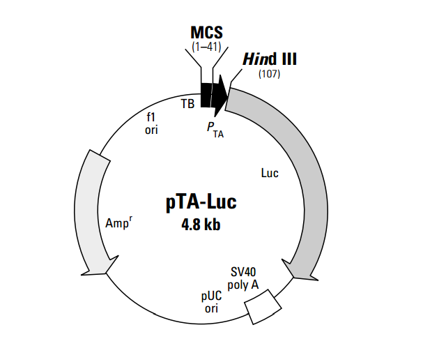 pTA-Luc 质粒图谱