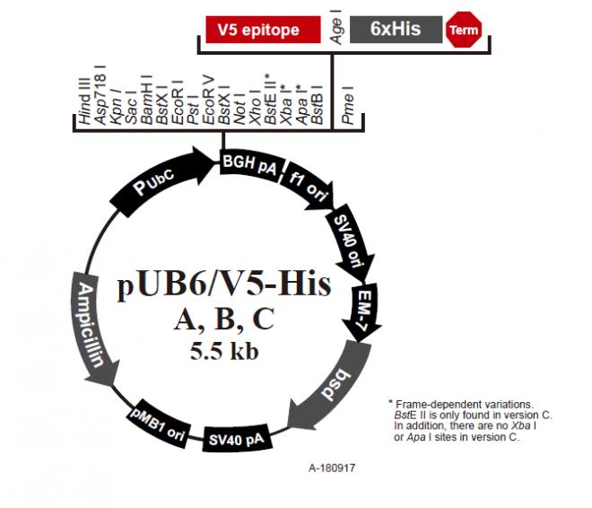 pUB6/V5-His B 质粒图谱