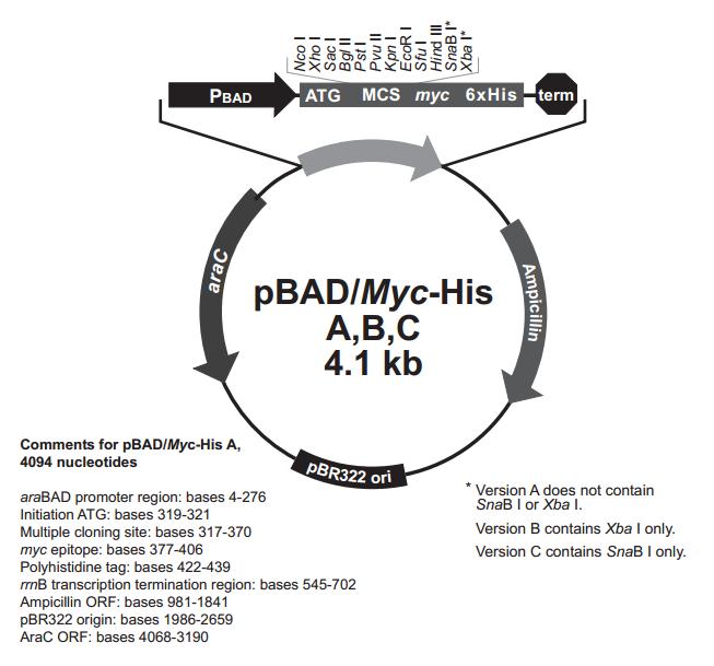 pBad/Myc-His B 质粒图谱