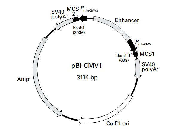 pBI-CMV1质粒图谱