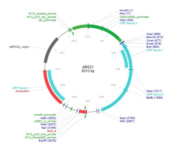 pBI221质粒图谱
