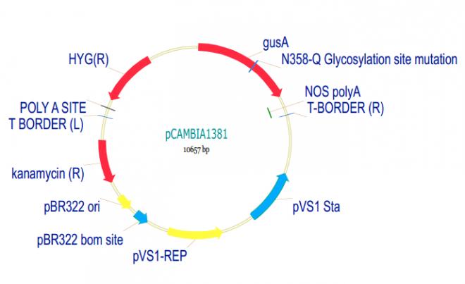 pCAMBIA1381质粒图谱