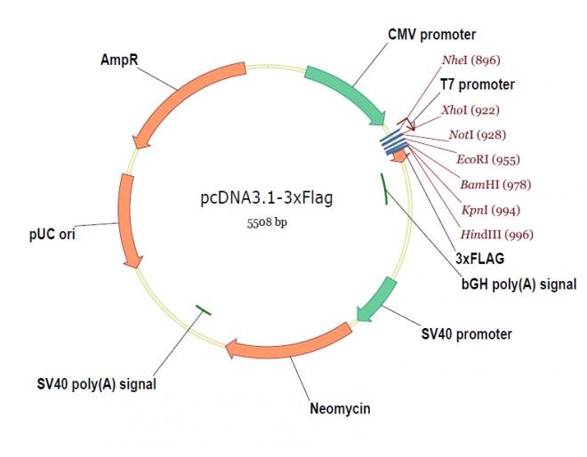 pcDNA3.1-3xFlag质粒图谱