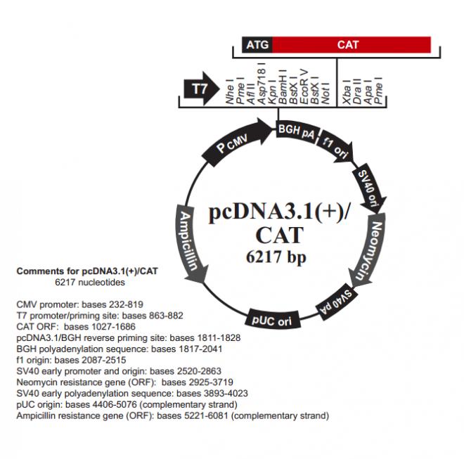 pcDNA3.1(+)/CAT质粒图谱