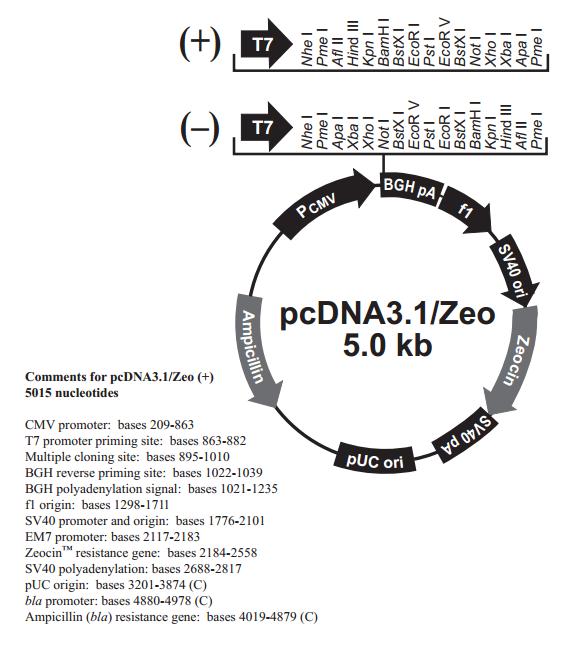 pcDNA3.1/Zeo(+) 质粒图谱