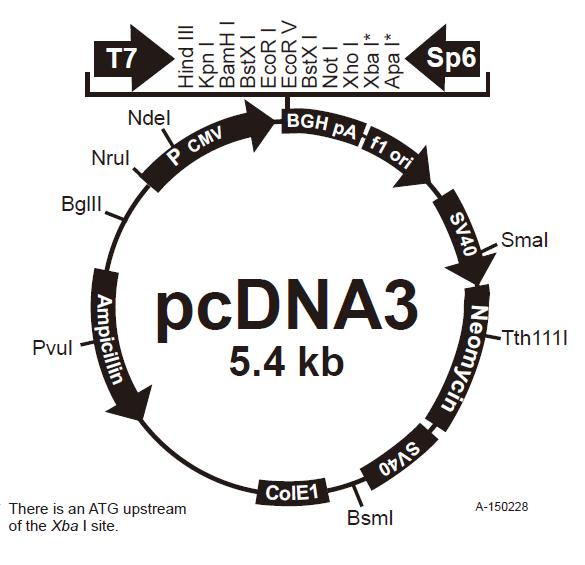 pcDNA3质粒图谱