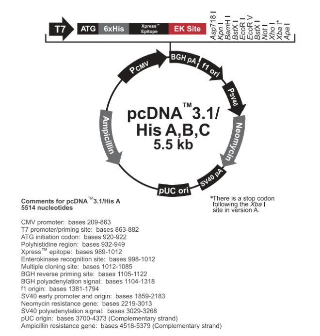 pcDNA3.1/His C 质粒图谱