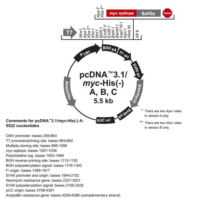 pcDNA3.1(-)/myc-His B 质粒图谱