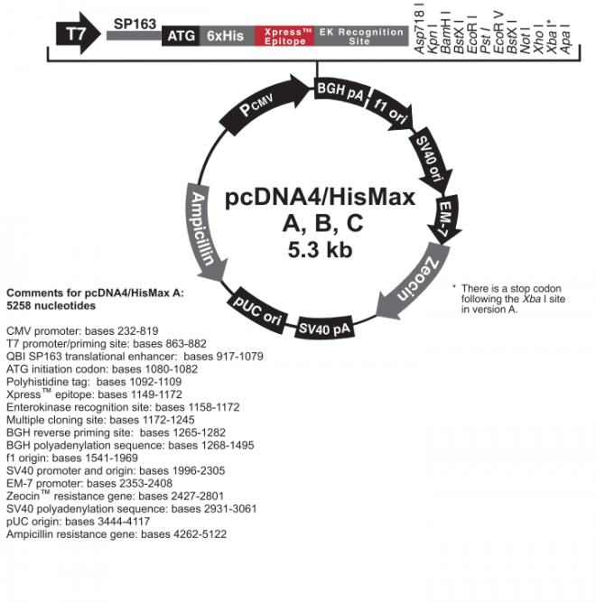 pcDNA™4/HisMax A, B, & C 质粒图谱