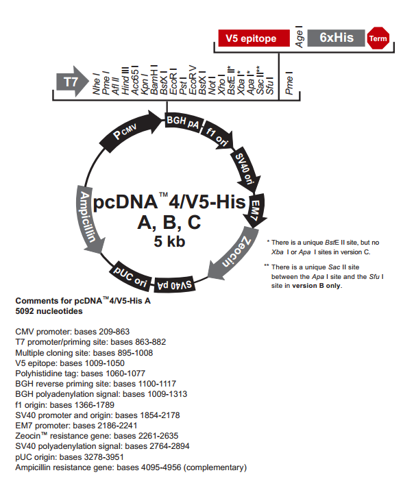 pcDNA4/V5-His A 质粒图谱