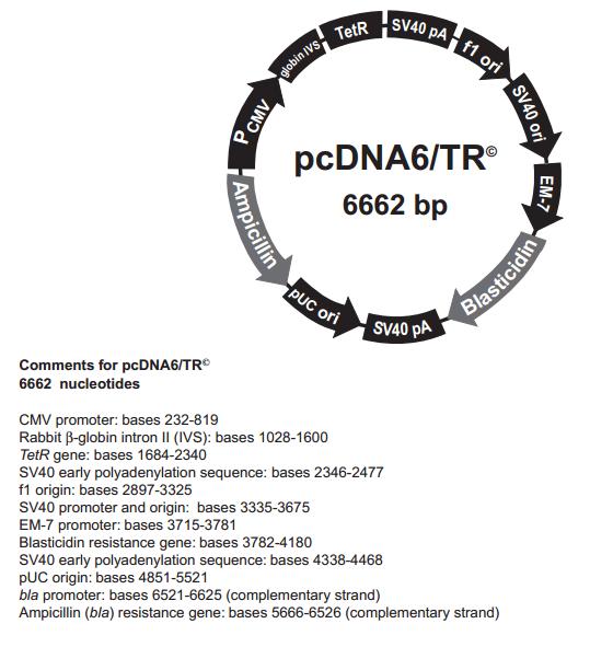 pcDNA6/TR 质粒图谱