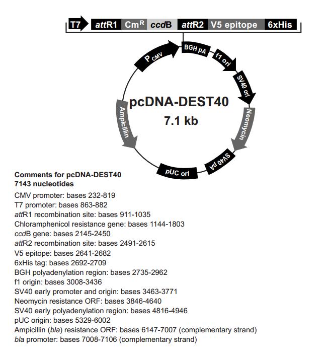 pcDNA-DEST40 质粒图谱