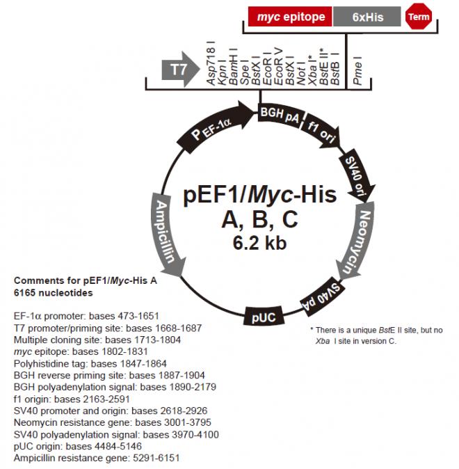 pEF1/myc-His A, B, & C 质粒图谱